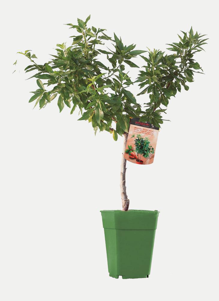 Almendro - Árbol Enano