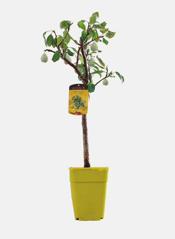 Ciruelo - Árbol Enano