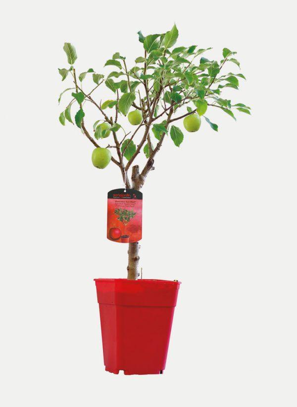 Manzano - Árbol Enano