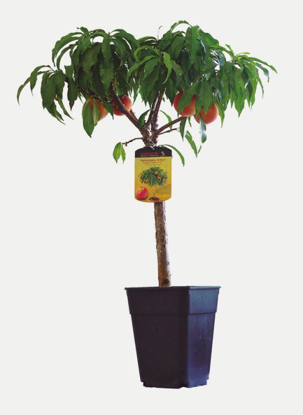 Melocotonero - Árbol Enano
