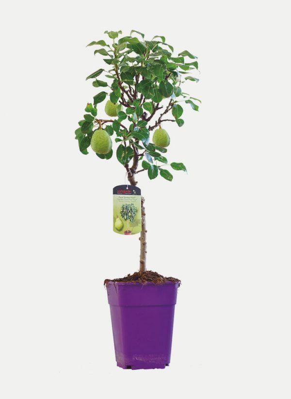 Peral - Árbol Enano
